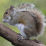 Eastern_Grey_Squirrel