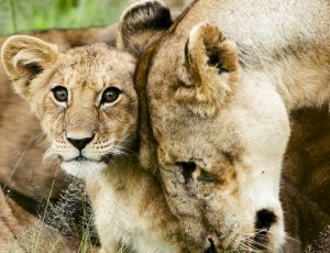 1280px-Lion_cub_with_mother