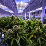 Microgrids for Energy-Hungry Cannabis Growers in California City